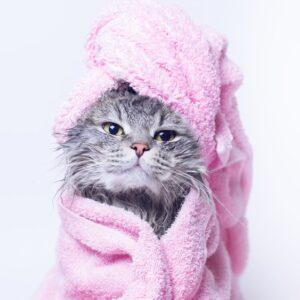 Overwhelmed gray kitten in pink towel